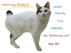 "Japanese Bobtail cat information, pictures, facts and videos. the Japanese Bobtail cat is an ancient breed and a national treasure tthe model for the ""beckoning cat"" icons of Japanese culture. Japanese Bobtail, Japanese Cat, Cat Breeds With Pictures, Most Popular Cat Breeds, Bobtail Cat, Cat Icon, Cats With Big Eyes, Kitten Care, Warrior Cats"