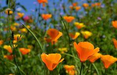 """500px / Photo """"poppies"""" by Yilmaz Kendirli"""
