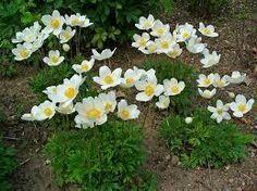 Anemone sylvestris Anemone from E.C. Brown's Nursery