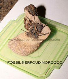 Fossils Erfoud Morocco Mohamed & Abdeselam KASMI Phone/fax : +212) 5 35 57 60 20 Mobiles: (+212) 6 68 47 77 67 (+212) 6 68 11 26 92 (+212) 6 73 77 87 04 www.fossilserfoudmorocco.com