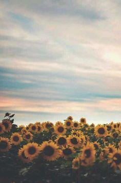 Sunflower field phone wallpaper.
