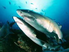 Underwater Creatures, Underwater World, Shark Facts, Shark Pictures, Nurse Shark, Great White Shark, Shark Week, Ocean Life, Marine Life