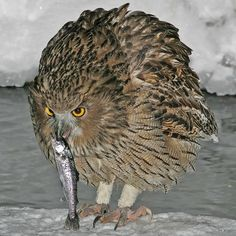 The Owl Blakiston is possibly the largest bird in the world. Found in Siberia and Japan, this magnificent bird has a wingspan of 2 meters and weigh up to 4.5 kg. It feeds mainly on fish, but also eat mammals and birds occasionally.