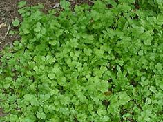 Growing Parsley and Cilantro, can grow in larger pots (great greens to eat for detoxing heavy metals and cleansing kidneys) Cilantro Plant, Coriander Cilantro, Coriander Seeds, Parsley, Vegetables For Babies, Landscaping Plants, Landscaping Ideas, Garden Club, Gardens