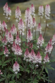 Tiarella 'Raspberry Sundae' - housebeautiful.co.uk