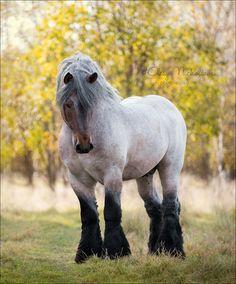 stallion breed Belgian work (Brabancon)