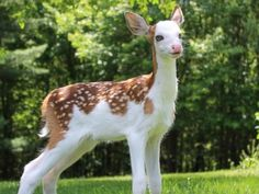 A rare white-faced fawn named Dragon, who was abandoned by his mother, has found a home at Deer Tracks Junction, an animal farm in Cedar Springs, Mich.