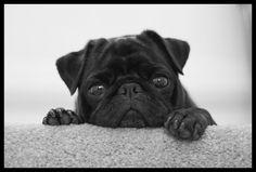 """The Pug"" by Ralph Krawczyk Jr"