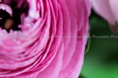 Colorato ranuncolo rosa, foto macro, stampa fine art, fiore by PhotoIdea on Etsy