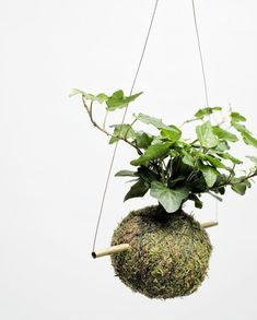 Kokedama, la pianta senza vaso – Foto #kokedamas