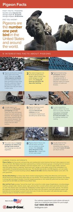 Pigeons are the number one pest bird in the United States. Get the facts and keep your buildings safe from pest pigeons with this helpful infographic. Number One, Pigeon, Did You Know, Infographics, Cities, Buildings, Around The Worlds, United States, Facts