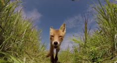 Fox Eats GoPro As It Records The Attack #Animals