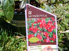 Planting Azaleas from Monrovia - Growing The Home Garden Cool Plants, Savannah Chat, Planting, Good Times, Home And Garden, Bloom, Sunset, Outdoor, Outdoors