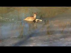 Barking dog leads to deer rescue in Grosse Ile
