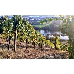 Vineyards in Würzburg, Germany