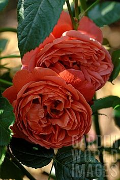 David Austin rose- Summer Song - love the colour, c/w scent - alas, reviews are less than stellar....