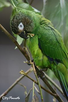 Dusky-headed Parakeet (Aratinga weddellii).