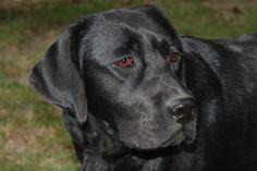 labrador retriever   Welcome to Towncroft Labrador Retrievers