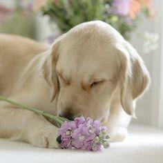 Beauty #Labrador