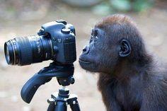 Gorila con Camara
