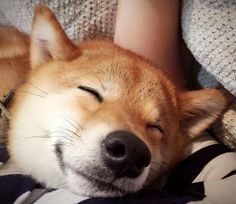 This adorable Shiba Inu is as happy as can be!