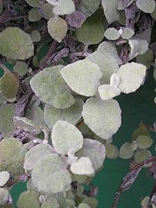 Helichrysum petiolatum - Gnafálio, Cotonaria, Sempre-noiva-das-floristas - Suas folhas são pequenas e recobertas de uma lanugem branca, conferindo-lhe uma coloração verde-acinzentada. As flores creme, despontam de Maio a Setembro e são discretas. Cultivada em canteiros ou em vasos; isolada ou em contraste com outras plantas. Em jardineiras suspensas pende como um véu. Meia Sombra.