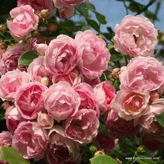 KORDES Rosen Jasmina ® - Kletterrosen - Gartenrosen Die schönsten Rosen der Welt