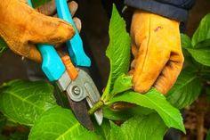 How to Prune Hydrangea