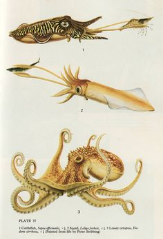 factstofigures: Artist: Peter Stebbing Russell, F. and Yonge, M. The Seas: An introduction to the study of life in the sea. New York: Frederick Warne & Co Inc. Science Illustration, Nature Illustration, Botanical Illustration, Kraken, Illustration Botanique, Motifs Animal, Octopus Art, Kunst Poster, Ocean Creatures