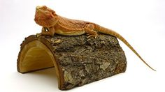 The Carolina Giant Half Log Reptile Habitat Accessory is one of those practical items that we use quite often; especially with adult bearded dragons. We use them as a habitat 'perch' for the dragons ...