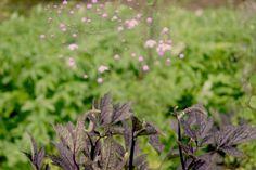 Schönste Pflanzenkombination: Thalictrum delavayi 'Splendid' (Wiesenraute) mit Actaea simplex 'Brunette' (Oktober-Silberkerze) | Thalictrum delavayi 'Splendid' und Actaea simplex 'Brunette'