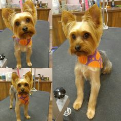 The Cutest yorkie ever!! Chip!