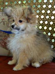 Poodle/Pomeranian mix.