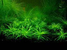 500 unids/bolsa planta acuario Césped Semillas de Plantas Acuáticas semillas de Hierbas de Agua Al Azar Embellecimiento de Semillas de Plantas de Interior