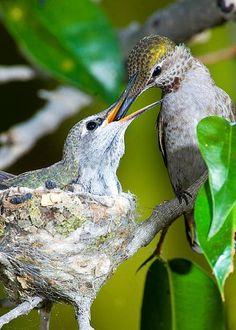Anna's Hummingbird At Nest by Anthony Mercieca