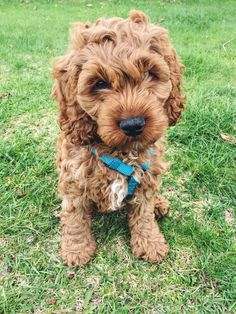 Cockapoo puppy // my Riggs