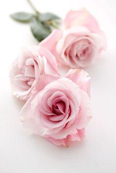 heyprettywedding:  Pink roses.