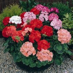 how do you take cuttings from geraniums? These plants are one of the most popular summer bedding plants. Cut your cost of having these garden beauties by starting your own for the next season.