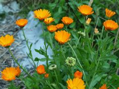5 Things You Need to Know About Calendula: Whether displaying bright orange or sunny yellow flowers, Calendula (also called Pot Marigold) is one of the most essential parts of your...