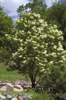Sester Farms Ivory Silk® Lilac Latin Name: Syringa reticulata 'Ivory Silk'  Wholesale Tree Nursery