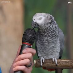 Parrot is asked how he views himself. I fell out of my chair at his answer! Cute Little Animals, Cute Funny Animals, Cute Dogs, Cute Babies, Animal Jokes, Funny Animal Memes, Funny Animal Pictures, Funny Birds, Cute Birds