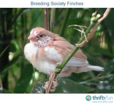 Finch roys egg food recipe for finches chops for birds to eat this is a guide about breeding society finches society finches are rivaled only by zebra forumfinder Gallery