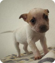 Bogie is 9 wks old on 2/21/13. He's only 3 lbs and very friendly. He won't be a large dog. Has had his first vaccine and has been de-wormed. Call Marilyn at 209-956-3004 for a phone interview.    You must be at least 25 yo to adopt a puppy from this organization. Pups Rescue's adoption fees range from $200-$300. There are always certain pups here, so the fee is very negotiable; pls don't hesitate to ask. Pls lv a msg, as all calls are screened. This is a residence; pls don't call after 9:00…