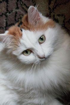 Larissa Davydova Photograph - Fluffy White And Haired Cat. Portrait by Larissa Davydova #LarissaDavydova #FineArtPhotography #FluffyWhiteAndHairedCat #Portrait #ArtForHome  #FineArtPrints #InteriorDesign #Canvas #FramedPrints #Prints #AcrillicPrint #MetallPrint #PhoneCasses #GreetingCards #PrintsForsale #BuyArtOnline