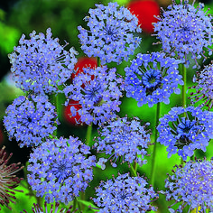 Didiscus Blue Lace|Mr Fothergill's Flower Seeds