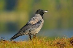 Gepind vanaf vroegevogels.vara.nl - Bonte Kraai