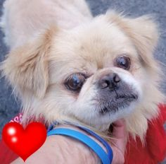 SAFE❤️❤️ 7/19/16 SUPER URGENT 07/09/16 Manhattan Center OLIVER – A1080561 MALE, CREAM, PEKINGESE, 8 yrs STRAY – STRAY WAIT, NO HOLD Reason STRAY Intake condition UNSPECIFIE Intake Date 07/09/2016, http://nycdogs.urgentpodr.org/oliver-a1080561/
