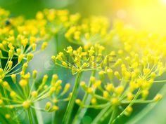 Aneto il sapore è simile all'erba