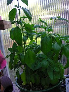 That Bloomin' Garden: Basil-So Easy To Grow & Root