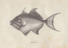 Balistidae Print Triggerfish  Print from a by TheCuratorsPrints